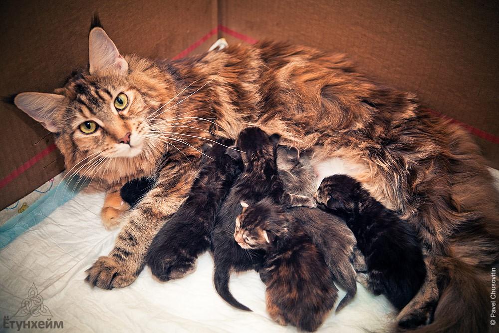 Сколько котят рожает мейн кун